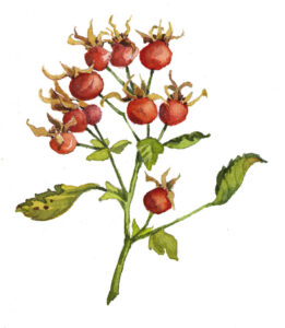 rose-hips-illus